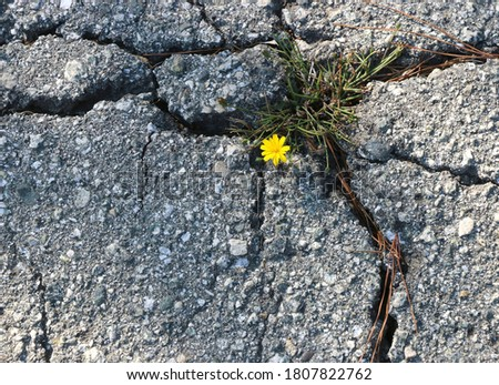 A bright yellow flower grows in a fissure of broken concrete, symbolizing strength, hope and resiliency. Photo stock ©