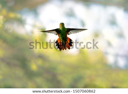 A brightly colored Rufous Hummingbird hovers in the air with its wings spread against a soft focus background. #1507060862