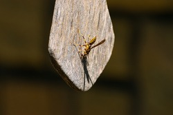 A brightly colored yellow and orange Paper Wasp, or Yellow Jacket, clinging to a weathered piece of wood with its head down on a sunny afternoon.