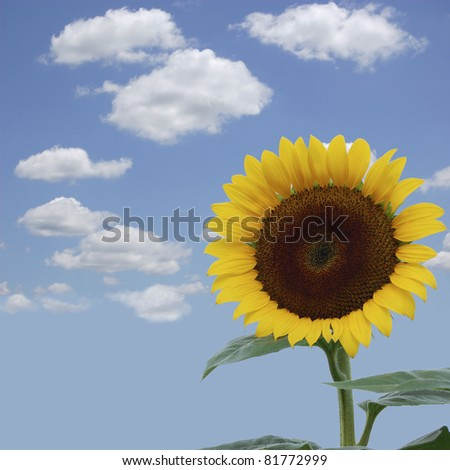 A brilliant yellow sunflower against a blue sky
