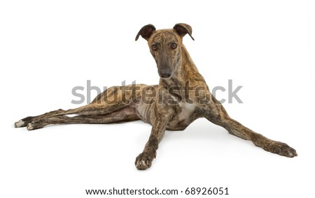 A brindle Greyhound dog laying down with front legs spread and looking forward. Isolated on white