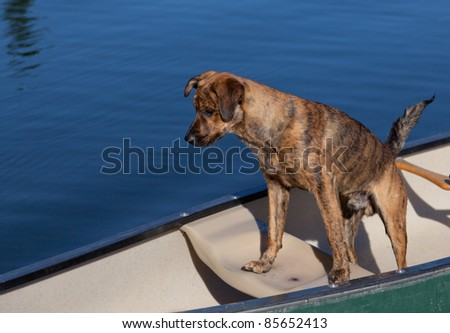A brindled plott hound on a boat on the water