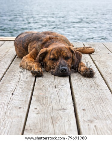 A brindled Plott hound puppy on a dock