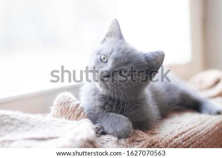 A British kitten is lying on the windowsill. Cute kitten. Magazine cover. Pet. Grey kitten. . Kitten at the window.