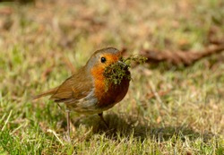 A British Robin has some moss in it's beak for building a nest in spring