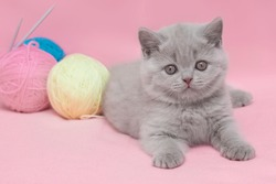 A British shorthair kitten with balls