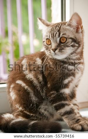 short hair tabby kitten. a British Shorthair kitten