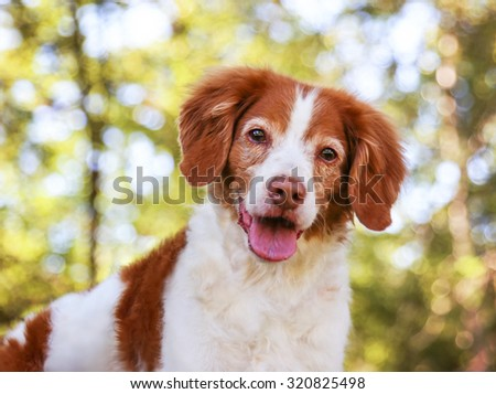 a brittany spaniel smiling at the camera in a local park during summer