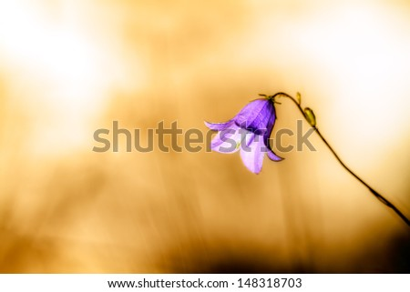 stock-photo-a-broad-bellflower-picture-of-an-isolated-lovely-bellflower-in-germany-in-front-of-a-blurred-148318703.jpg