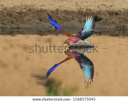 A Broad-billed Roller sweeps in to take drink on the wing