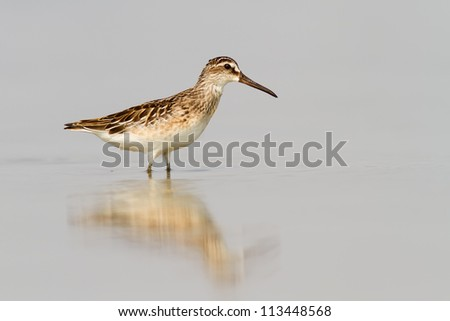 A Broad-billed Sandpiper (Limicola falcinellus) standing in shallow water