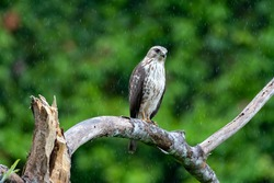 A Broad-winged Hawk (Buteo platypterus) perching in the rain with the rainforest blurred in the background. Raptor in nature. Bird of prey.