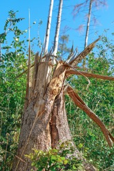A broken tree trunk which has broken apart