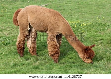 A brown alpaca grazing in the grass.