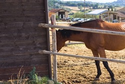 A brown and black thoroughbred horse on a ranch in the Italian countryside (Umbria, Italy, Europe)
