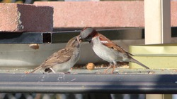 A brown and gray male house sparrow feeding its young.