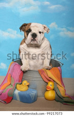 A brown and white Bulldog poses in a bath tub with yellow rubber ducks