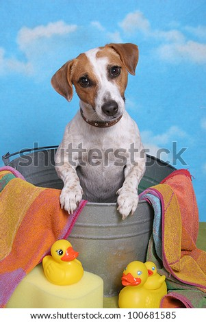A brown and white jack russell terrier dog sits in a bath tub with yellow rubber ducks, a towel and sponge