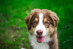 A brown and white Miniature American Shepherd looking into the camera with grass background. The Miniature American Shepherd Club of the USA (MASCUSA).