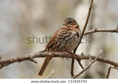 A brown and white Song Sparrow on a tree branch in a forest in spring in Winnipeg, Manitoba, Canada