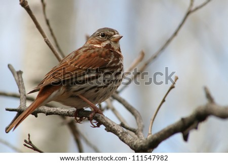 A brown and white Song Sparrow perched on a branch in spring in Winnipeg, Manitoba, Canada