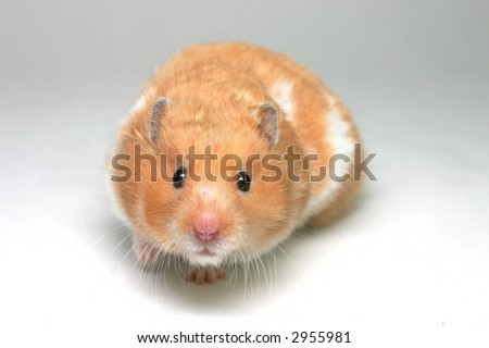 A brown and white Syrian hamster on white card backing