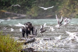 A brown bear forages for salmon in British Columbia.
