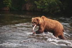 A brown bear standing in the water near a waterfall takes away its caught fish. Katmai, Alaska, USA.