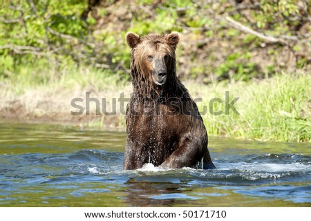 A brown bear stands on his hind feet and looks for salmon. #50171710
