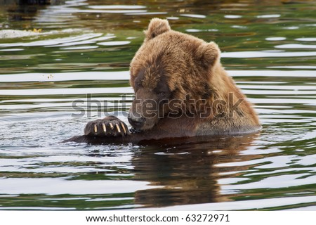 a brown bear taking a bath in the waters of alaska