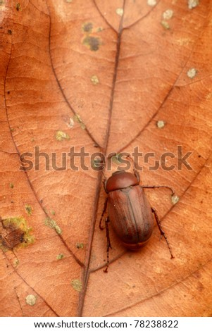 A brown beetle on a dry leaf