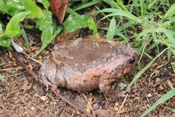 A brown bullfrog on the ground