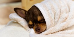 A brown chihuahua wrapped in pink and white blankets with its eyes closed sleeping in Saitama, Japan.