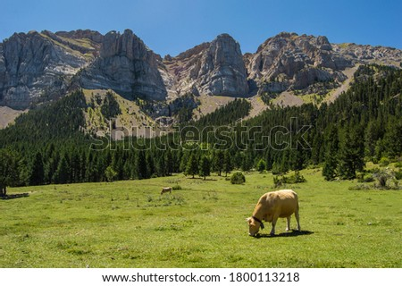 A brown cow eating grass on a green meadow surrounded by mountains and forest. Prat del Cadi, Estana, in Serra del Cadi Natural Park, Catalonia, Spain. Zdjęcia stock ©