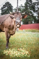 A brown cow in a green meadow sticks out her tongue at the camera.