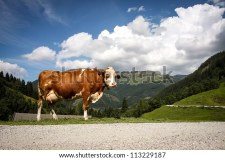 a brown cow in the alp mountains austria