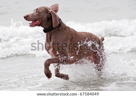 A brown dog running in the ocean water