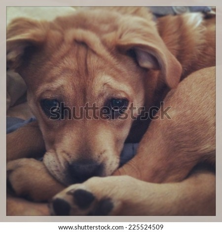 A brown dog with floppy ears curled up and staring straight ahead.