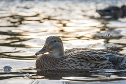A brown duck in shining water