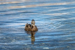 A brown duck swimming in blue water. The duck is reflected in the water