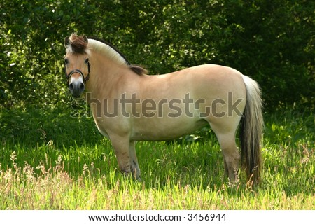 A brown dun fjord pony standing in a lush green pasture.