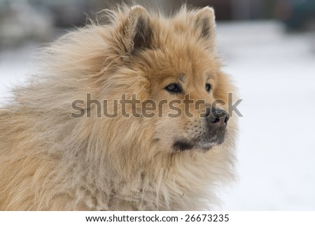 a brown eurasier dog looking mindful and worried at something distant in a snowy background
