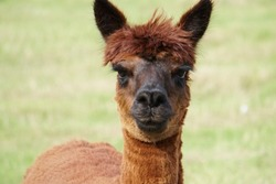 A brown female alpaca, head and neck shot close up in a green grass paddock