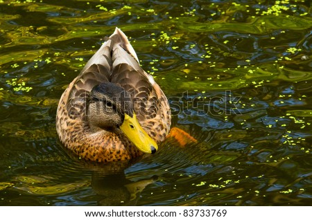 A Brown Female Wood Duck Swimming in a Pond