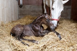 a brown foal is born in a horse box and lies in the straw