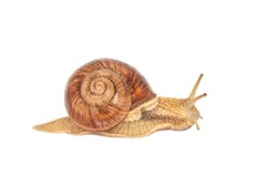 A brown garden snail on a white background. Helix pomatia. grape snail on a white background. mollusc and invertebrate. delicacy meat and gourmet food