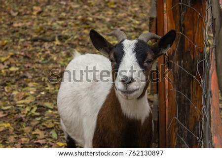 a brown goat smile to the camera , a male goat, a goat with horns