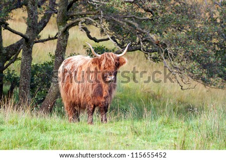 A brown highland cow standing alone in a highland meadow.