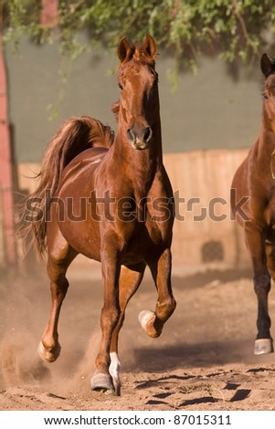 A brown horse running towards the camera