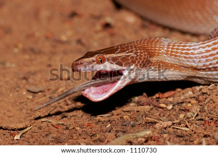 A brown house snake (Lamprophis fuliginosus) swallowing a rat